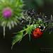 Ladybugs dinner