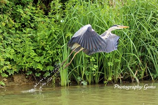 Heron Take Off (Explored) | by Gemma Murrell Photography