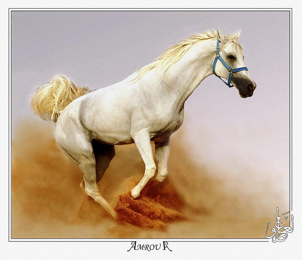 dusty jump Arabian horse   This beauty white pure Arabian ...