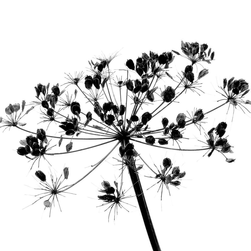 Flower Head Line Drawing : Hogweed seedhead heracleum sphondylium common names