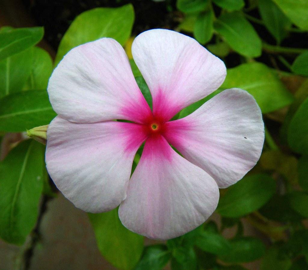 impatiens fiori di vetro o lisette vincenzolerro flickr