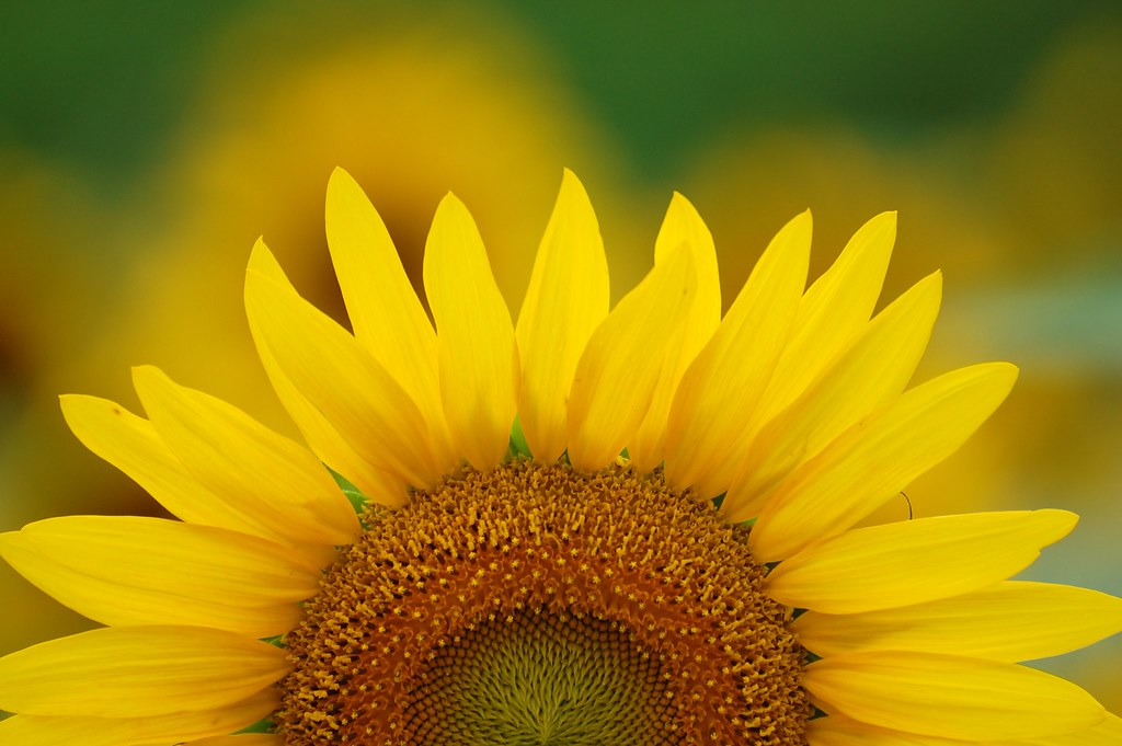 Sunrise Sunflower Wallpaper Desktop Background