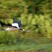 Wood Stork Pan Blur