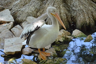 Pelican | by MGJr.