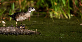 Immature Wood Duck | by mbaglole