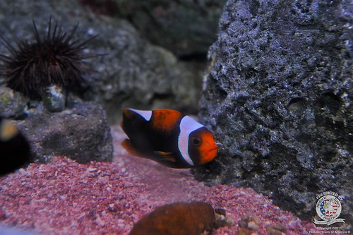 Clown fish-2 | by keywest aquarium
