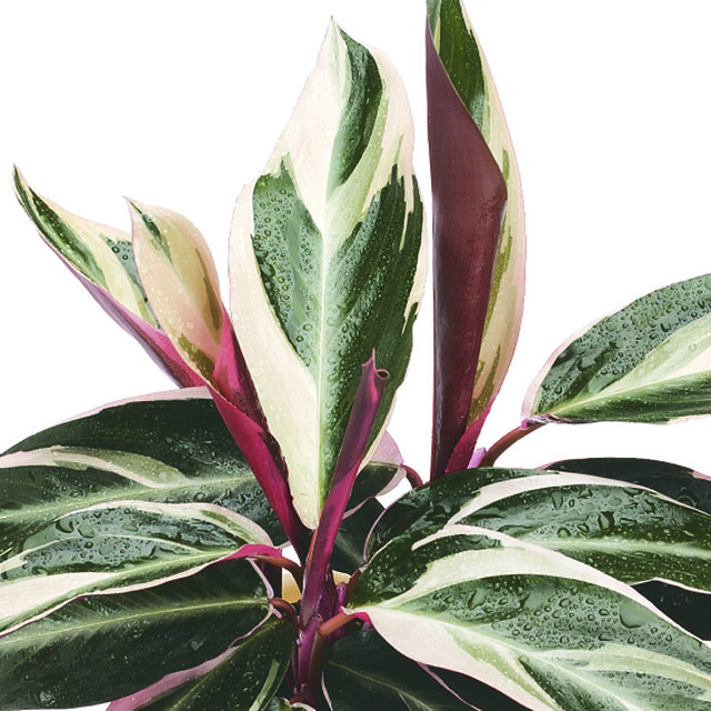 Fam 322 stromanthetriostar lg flickr photo sharing for How to take care of exotic angel plants