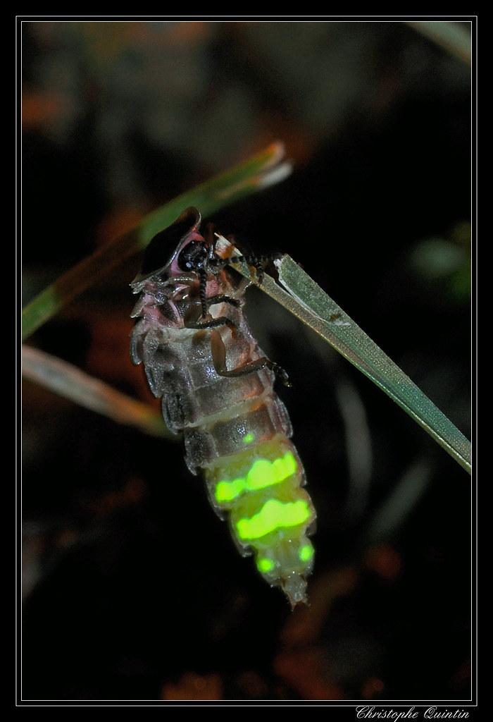 Vers Luisant Lampyris Noctiluca Glow Worm Nikon D90