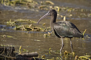 Glossy Ibis 18 | by 5Bellies Digiscoping