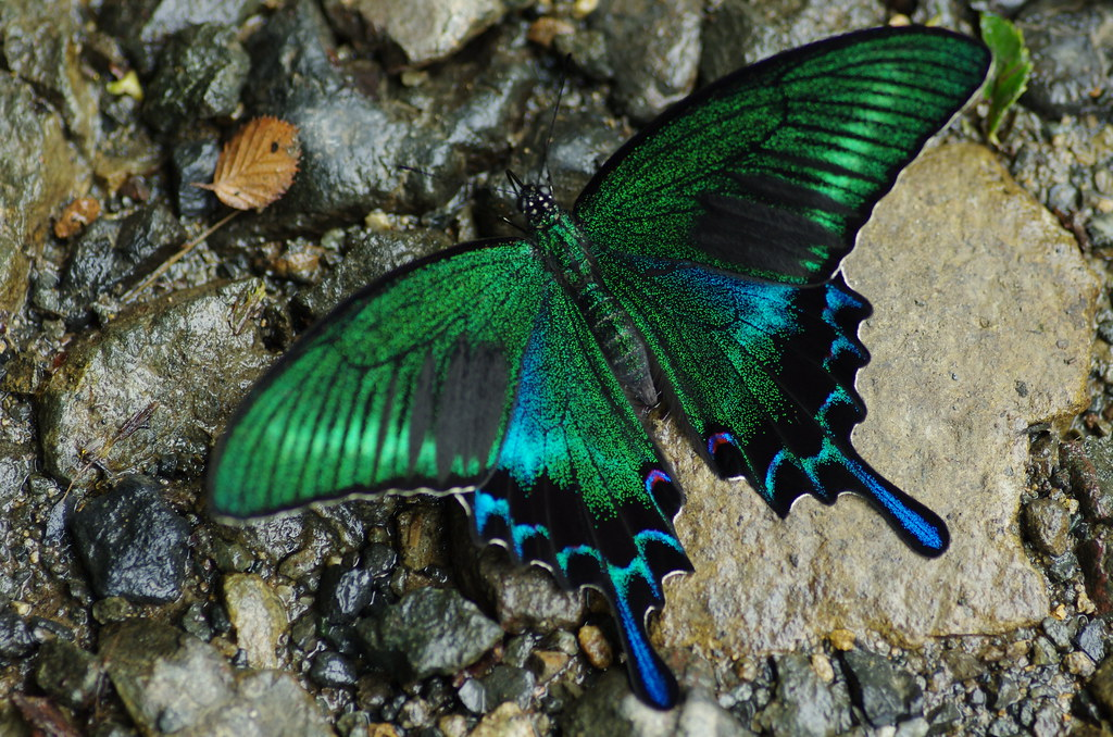 Papilio Maackii | The Garden of the Luna Moth | Pinterest