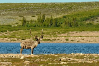 Caribou on an Island | by Thelon River Expedition