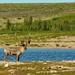 Caribou on an Island
