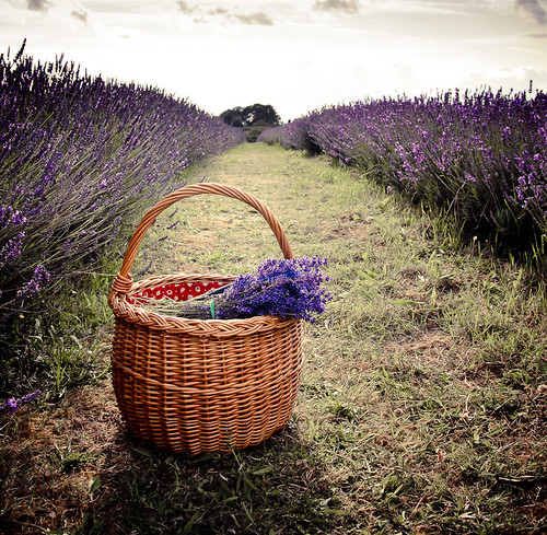 Basket & lavender; Mayfield Lavender, Banstead | by W Ly