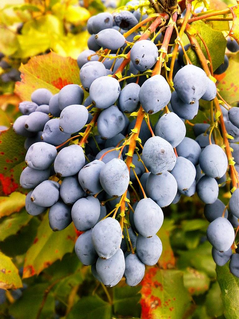Mahonia HECKEN - früchte, leuchtende Herbst-farben. | Flickr
