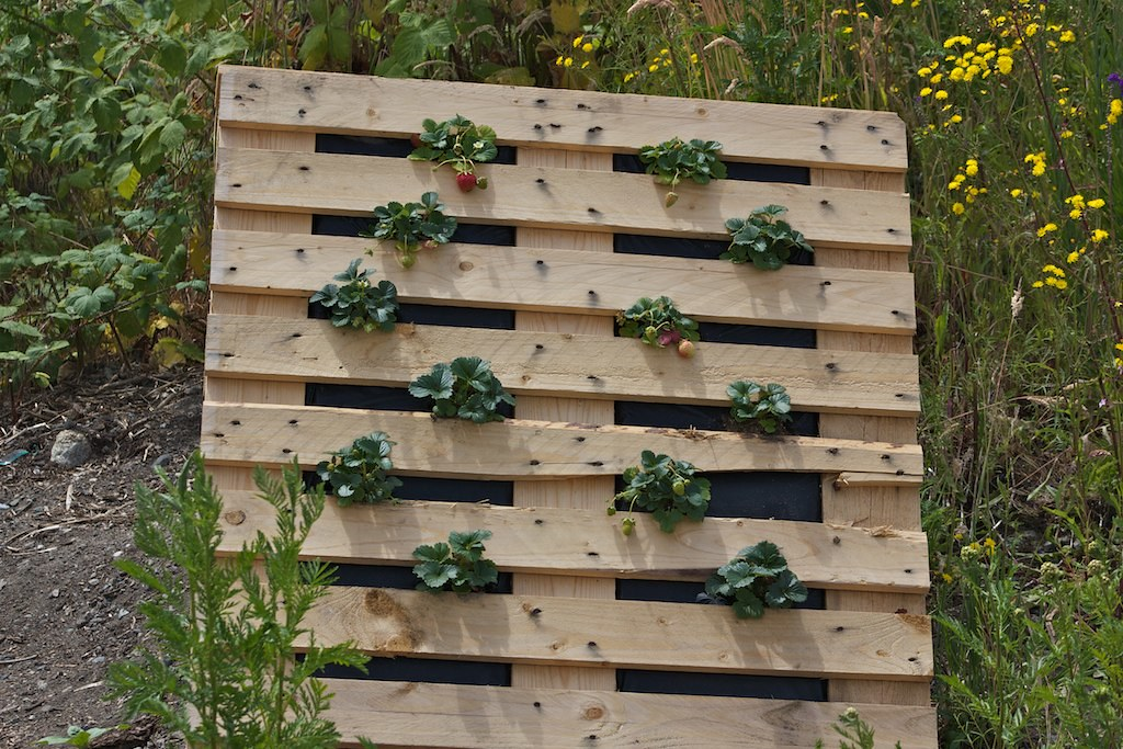 strawberries growing in an upright pallet part of projec