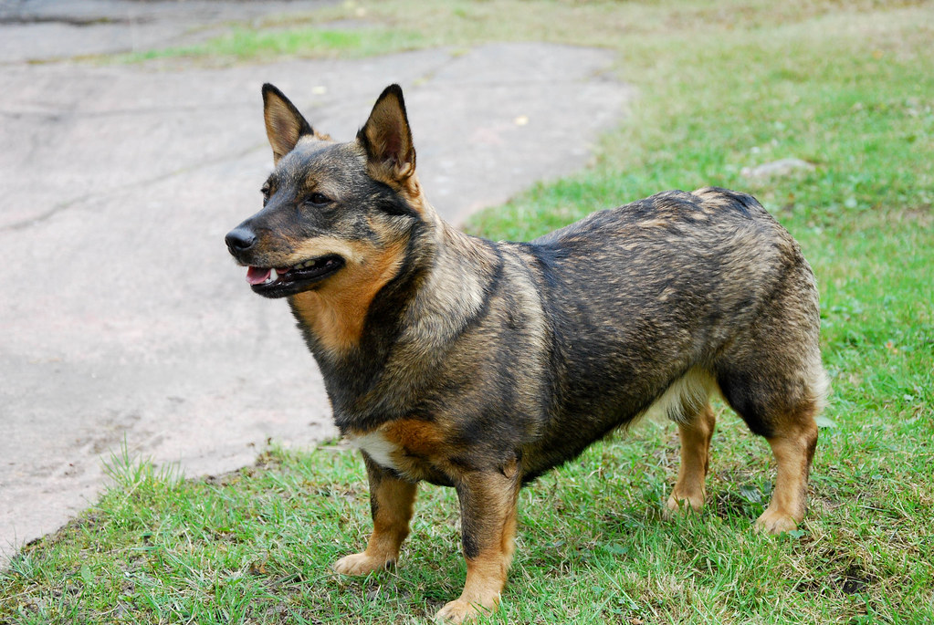 An Vallhund A Small Strudy Dog With Pointed Ears
