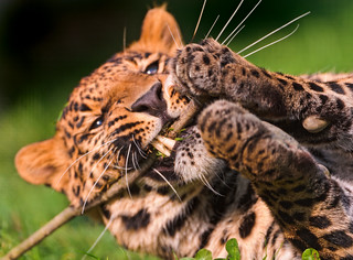 Cute male leopard playing with a twig | by Tambako the Jaguar