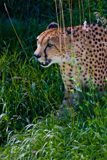 cheetah | by Mathew Shane Wilson