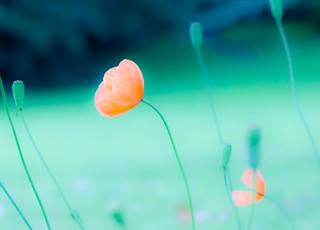 A poppy or two | by Steve-h