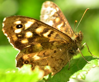 Speckled Wood  Butterfly | by ihughes22