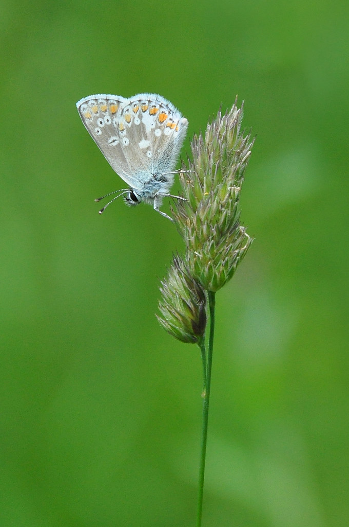 Northern Argus: Northern Brown Argus (Aricia Artaxerxes Salmacis) South Cu