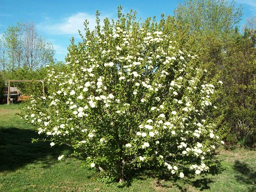 Blackhaw Viburnum As A Shrub It Typically Grows 12 15