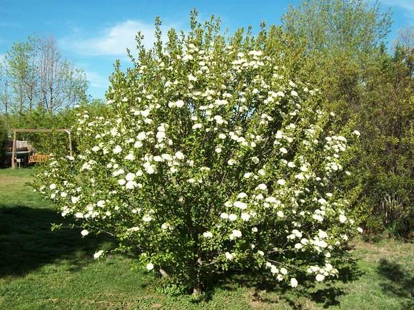 Blackhaw Viburnum As A Shrub It Typically Grows 12 15