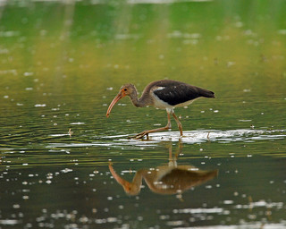 White Ibis (juvenile) | by 1F Photos