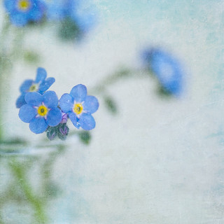 Forget-me-not-monday-blues! | by borealnz