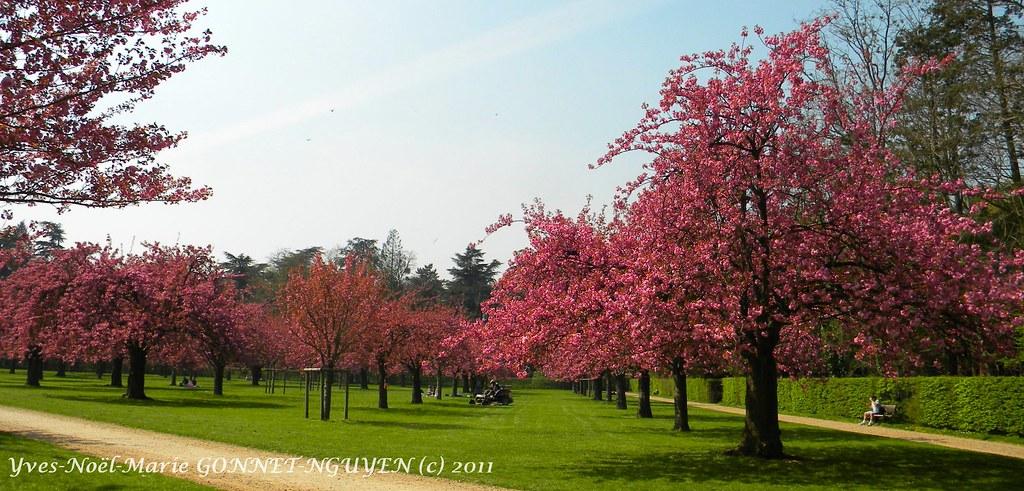 100 cerisiers japonais le verger du parc de sceaux bourg flickr - Taille du pecher au printemps ...