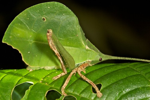 Green leaf mimicking katydid (4)