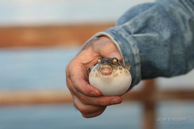 Baiacu Fish