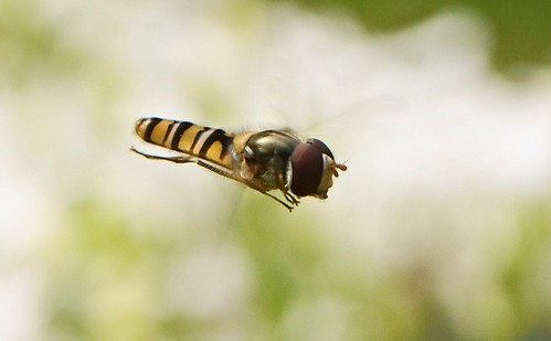 Hoverfly | by nitram0864