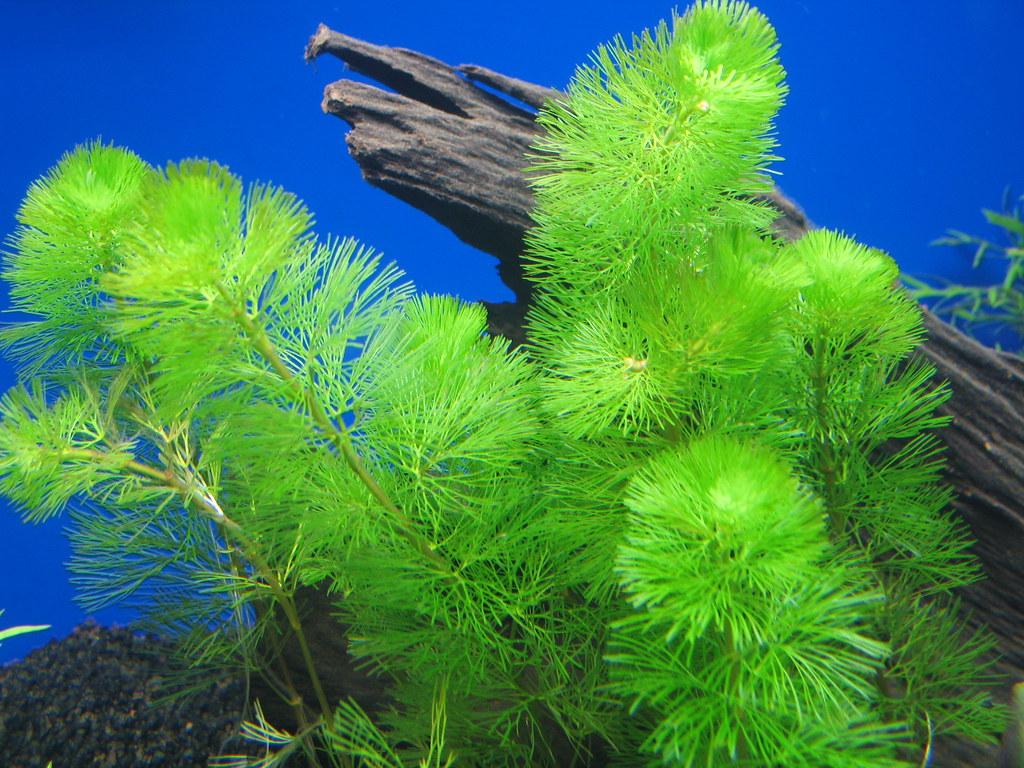 Green Cabomba Cabomba Caroliniana Steven Nichols Flickr