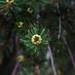 Baby pinecone