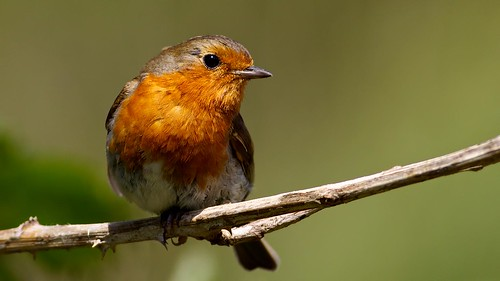robin de hood | by blackfox wildlife and nature imaging