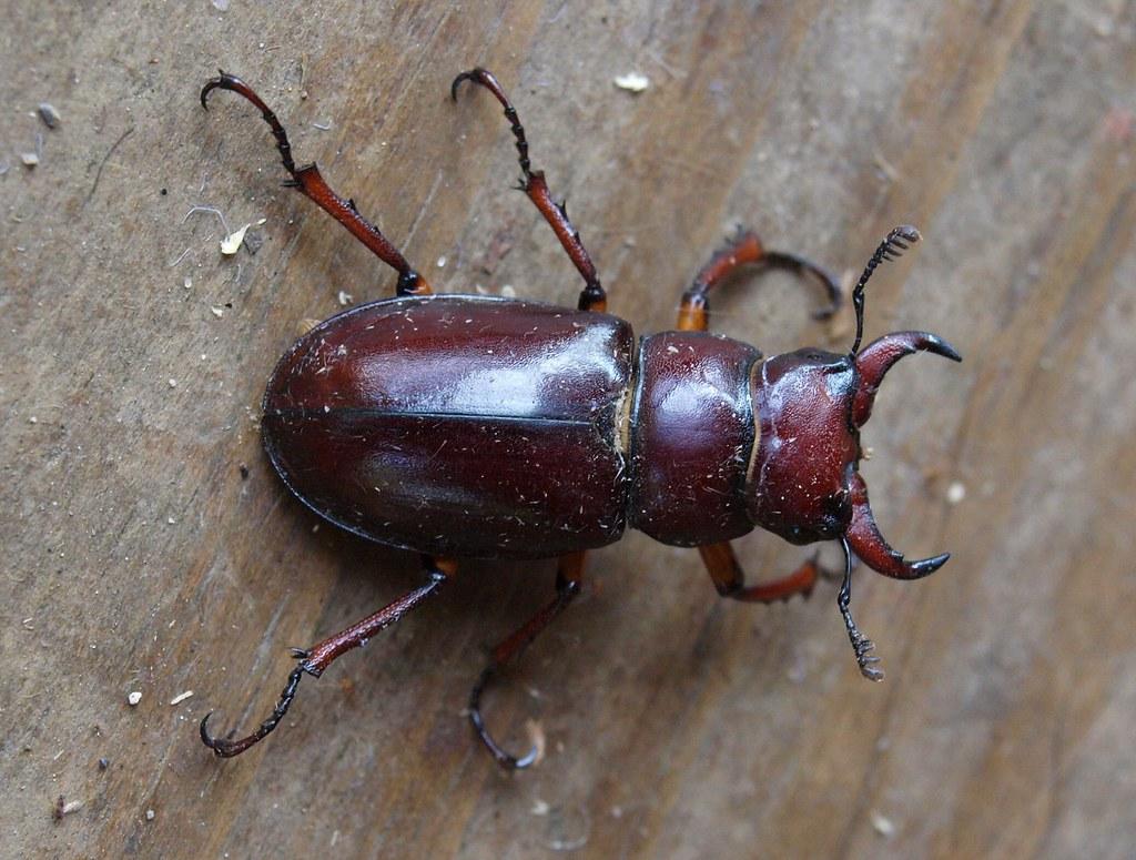 Pincher Bug