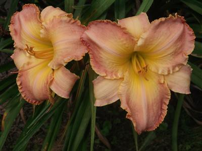 S-180 (Ruffled Dude X Country Melody) | by Ed Burton, daylily & daylily seedlings