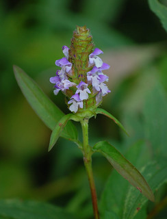 Prunella vulgaris, Self-heal | by sheryl2010
