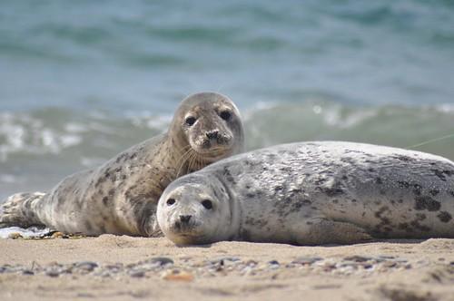Seals at nantucket national wildlife refuge seals at for Mass fish and wildlife