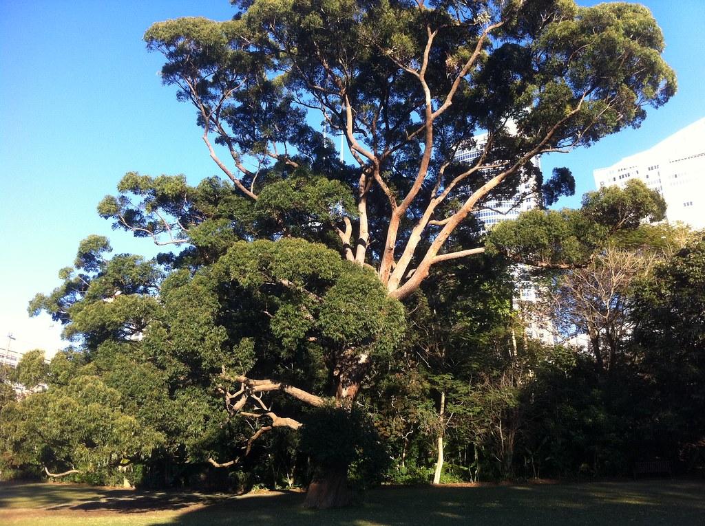 Eucalyptus Microcorys IMG_0527