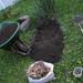 150/365 Planting dahlias