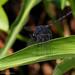 Trithemis grouti