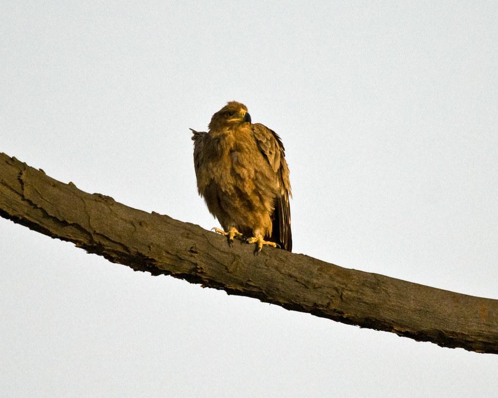 Tawny Eagle In Morning Light Samburu Reserve Samburu