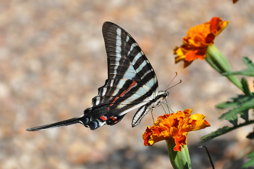 Zebra Swallowtail, Virginia | by Dave Govoni