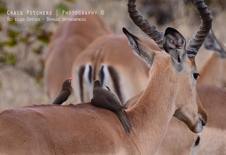 Red-Billed Oxpecker - Buphagus erythrorhynchus | by Craig Pitchers
