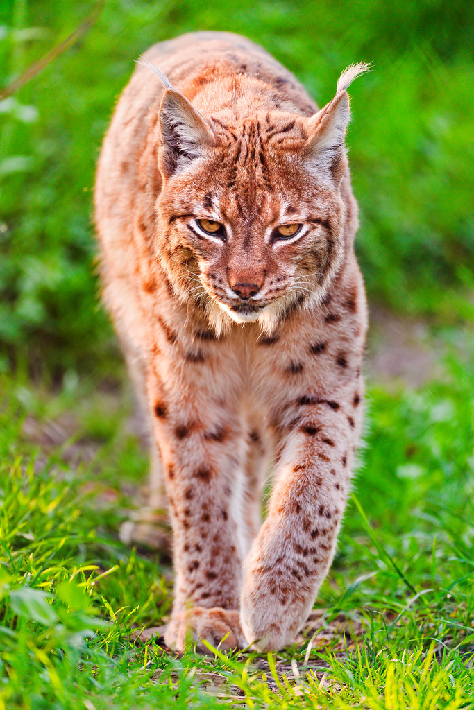 Walking Lynx I Like This Front Shot Of A Male Lynx
