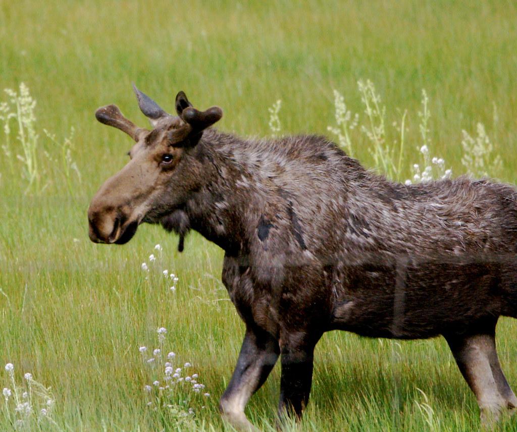 We Saw This Moose In The Elk Refuge In