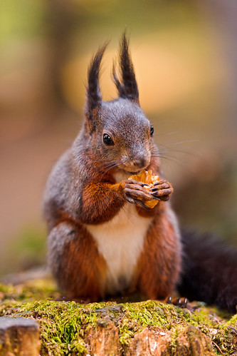 Squirrel eating a nut II | by Tambako the Jaguar