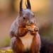 Squirrel eating a nut II